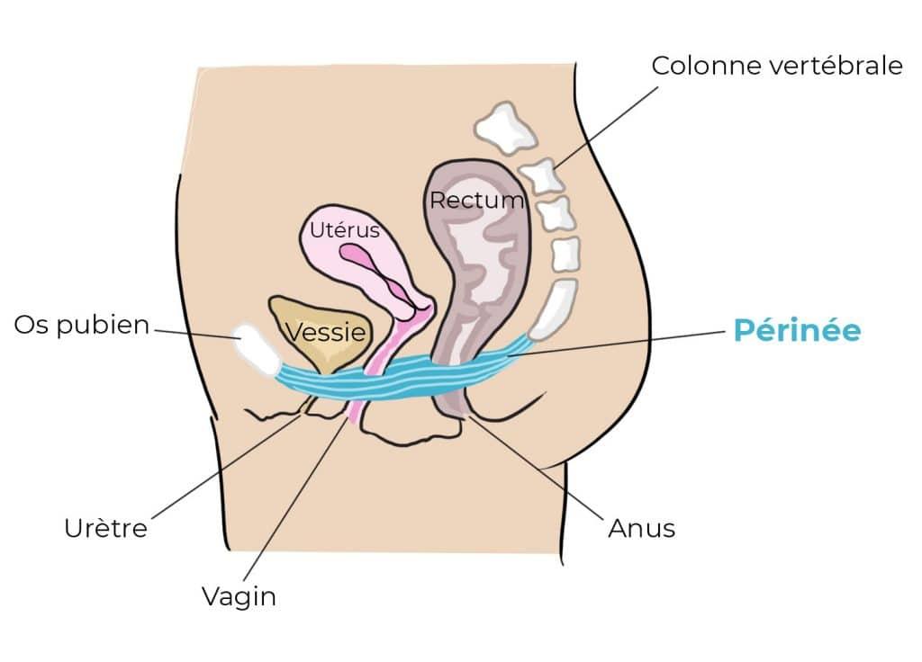 schéma appareil génitale femme massage du périnée grossesse